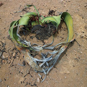 Welwitschia mirabilis qui n'existe que dans le desert de Namibe