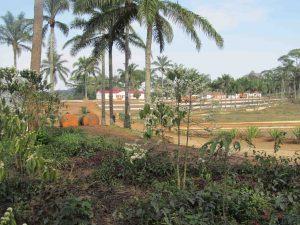 Plantation de café de Cabuta