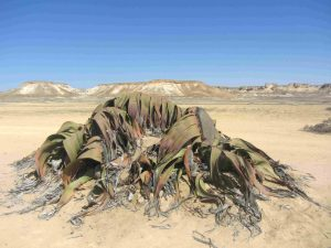Desert de Namibe - Welwechia