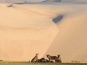 Lions au pied de la dune de Sossusvlet