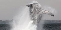 Baleine saut
