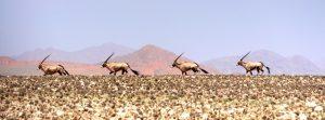 Les oryx de Iona