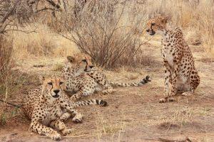 Naakuse léopard
